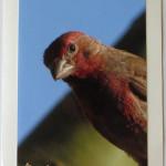 Common Finch Bird Greeting Card