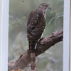 Cooper's Hawk Bird Greeting Card