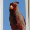 Pyrrhuloxia Bird Greeting Card