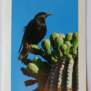 Starling Bird on Saguaro Cactus Greeting Card